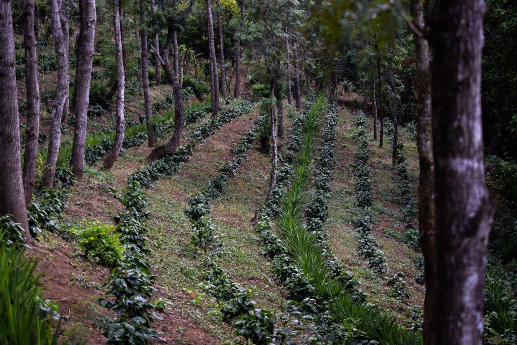 Fazenda de café em El Salvador.