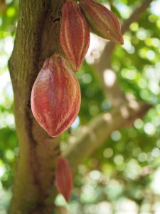cacao pods on a tree
