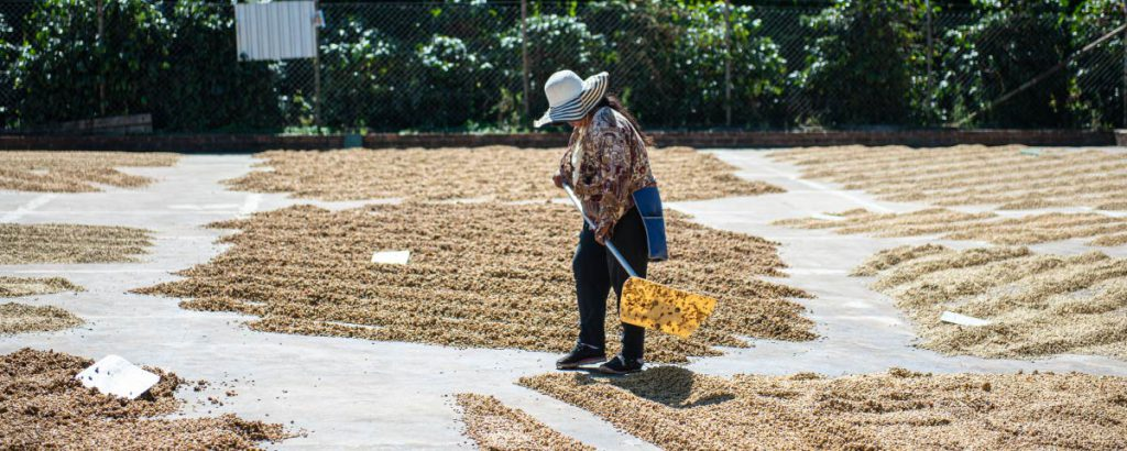 A woman producer dredging green coffee beans in a drying patio