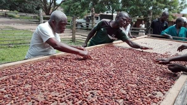 productores de cacao secan los granos en camas elevadas
