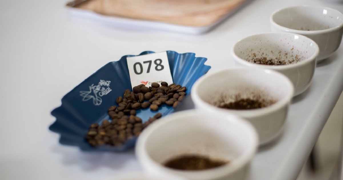 Samples of roasted coffee beans with white cupping bowls in a white surface