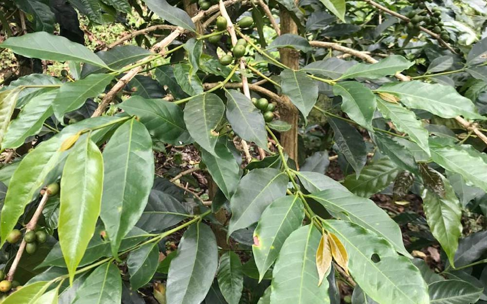 Green cherries on a Typica tree at a arm in El Salvador