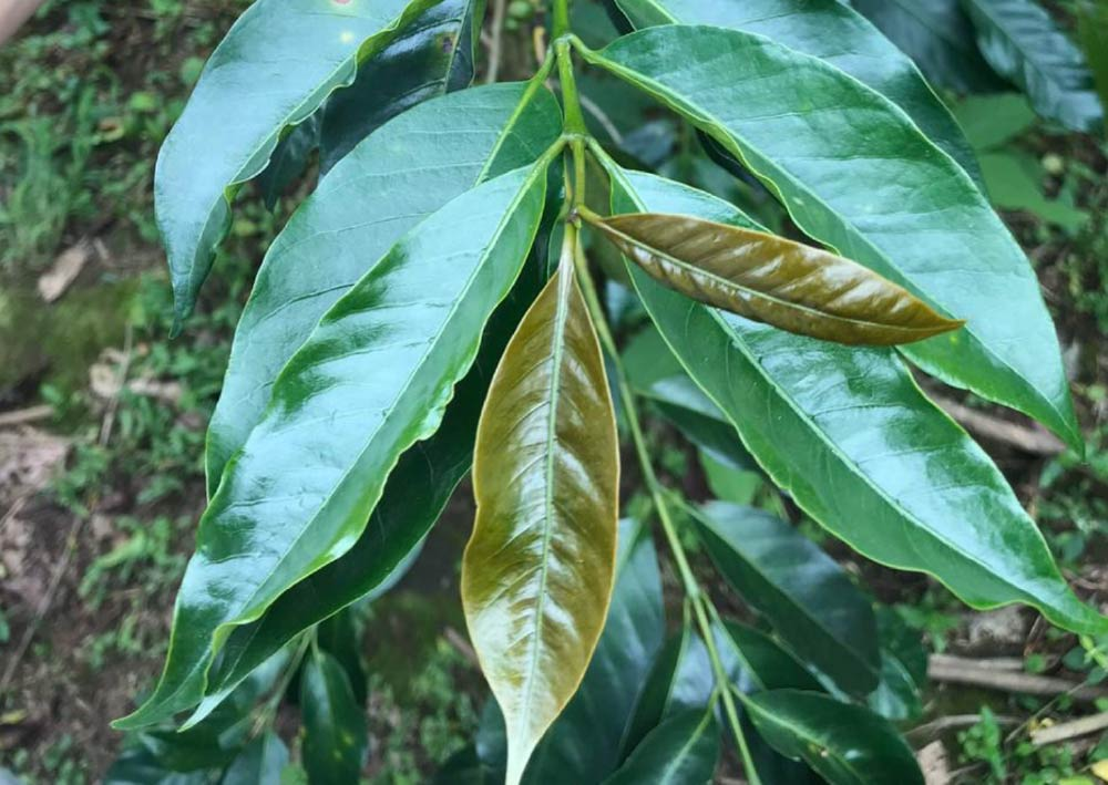 Typica tree leaves