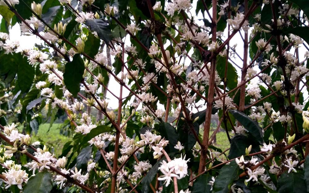 Coffee flowers blooming on a Typica tree at Finca Oro Vivo in Veracruz