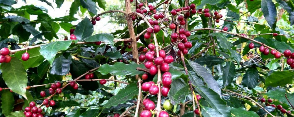 Branches with ripe coffee cherries
