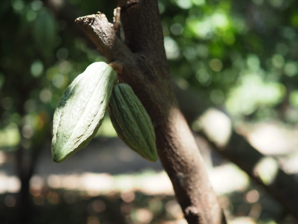 Unripe cocoa pod in a cocoa tree