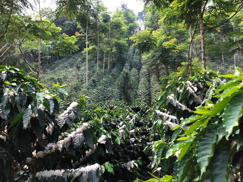 Árvores de café Caturra e Typica florescendo em uma fazenda em Baxtla, Veracruz, México.