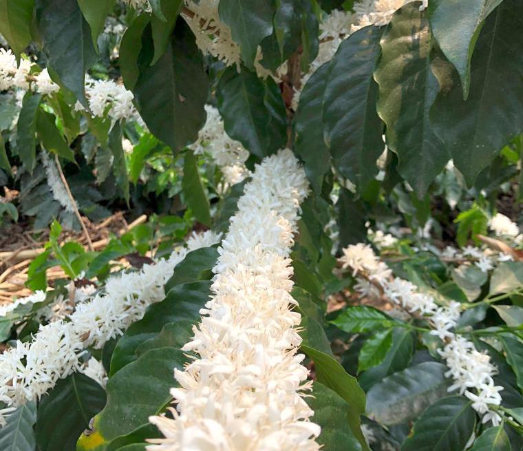 Florada de café Caturra em uma fazenda em Veracruz, México.