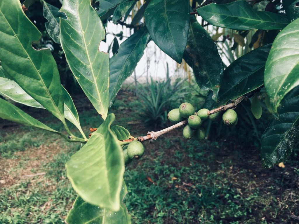 Unripe coffee cherries in coffee tree of a Malaysian coffee crop