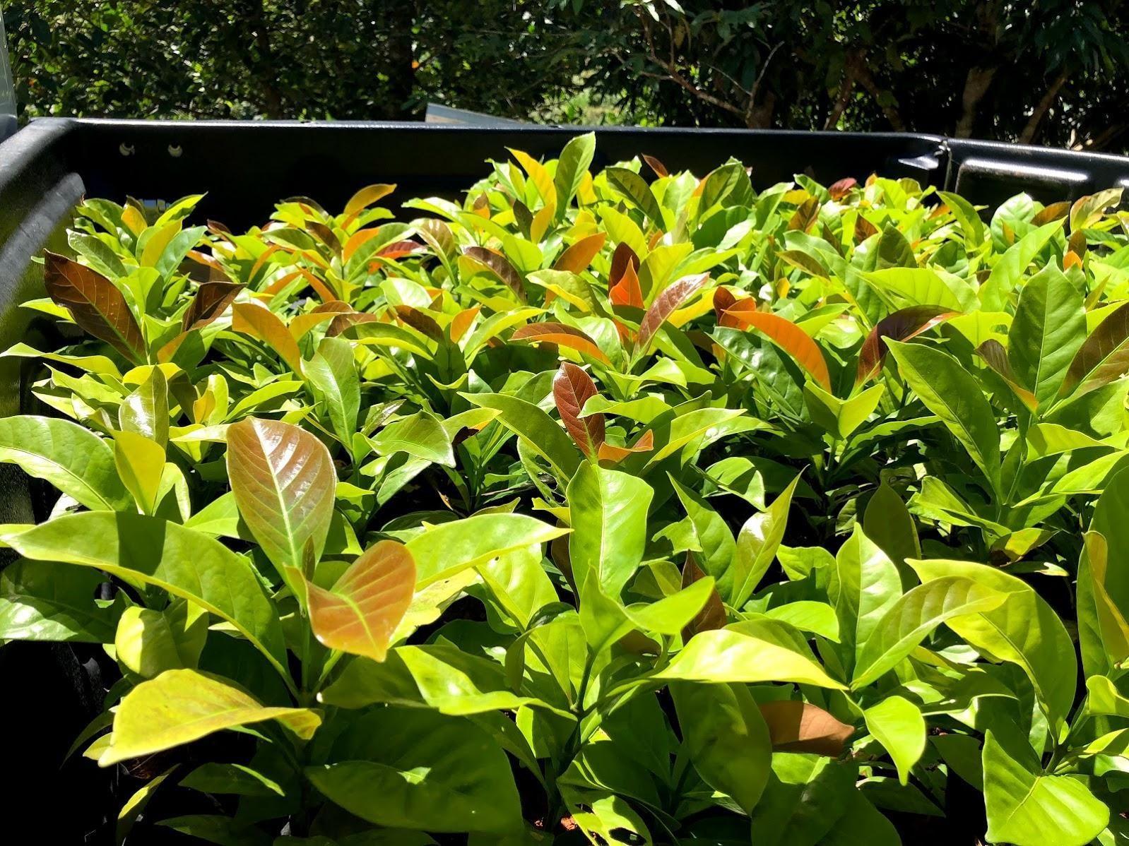 Liberica Coffee - Origin & Biological Characteristics - Helena., JSC: Liberica coffee seedlings are transported to a farm in Kampung Karu, Padawan, Malaysia  Source: Perfectdailygrind