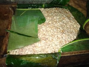 cacao beans fermenting in boxes