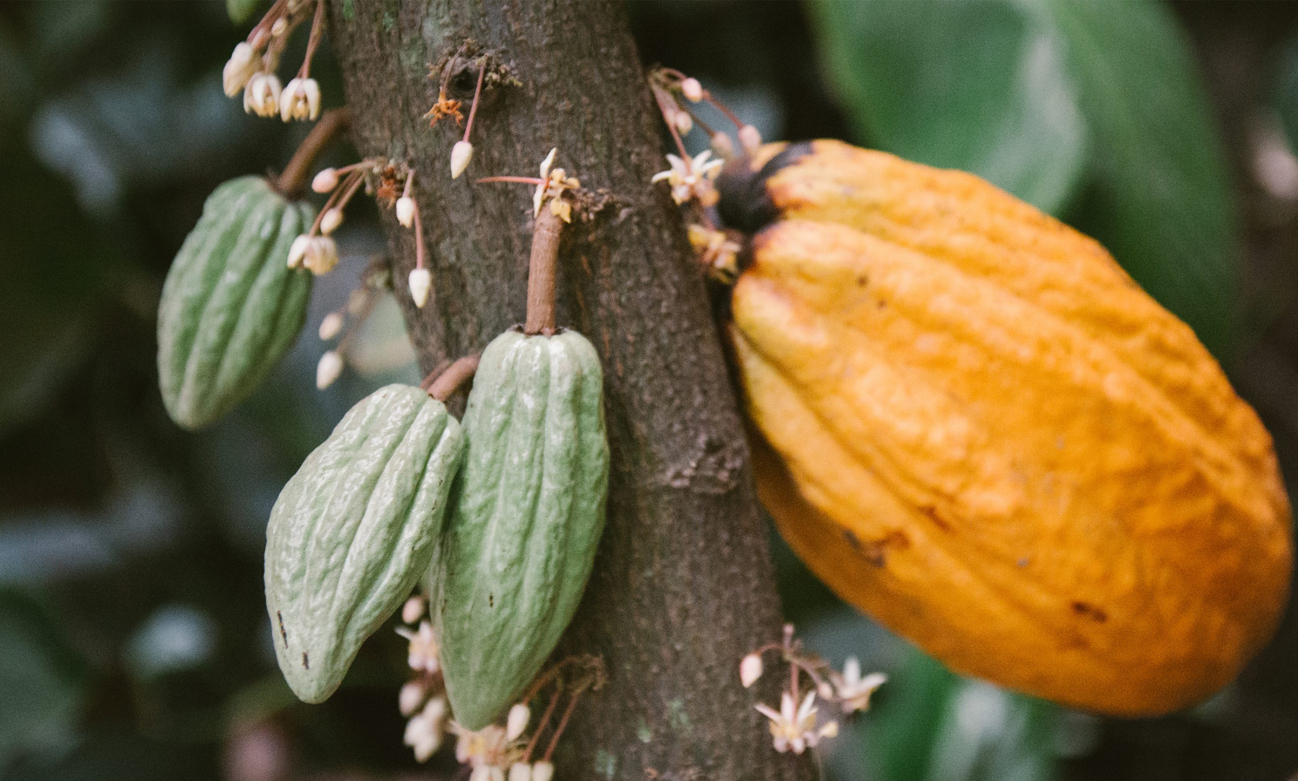 Ripe cacao grains