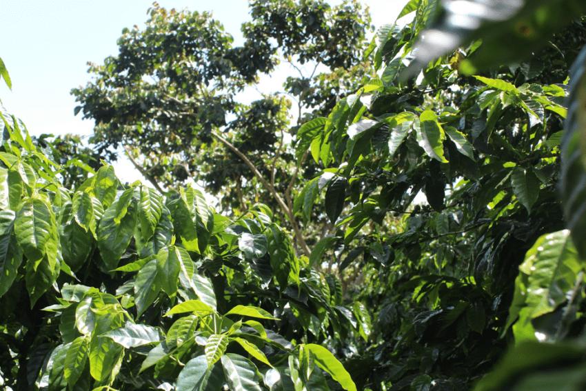 Coffee trees at coffee farm