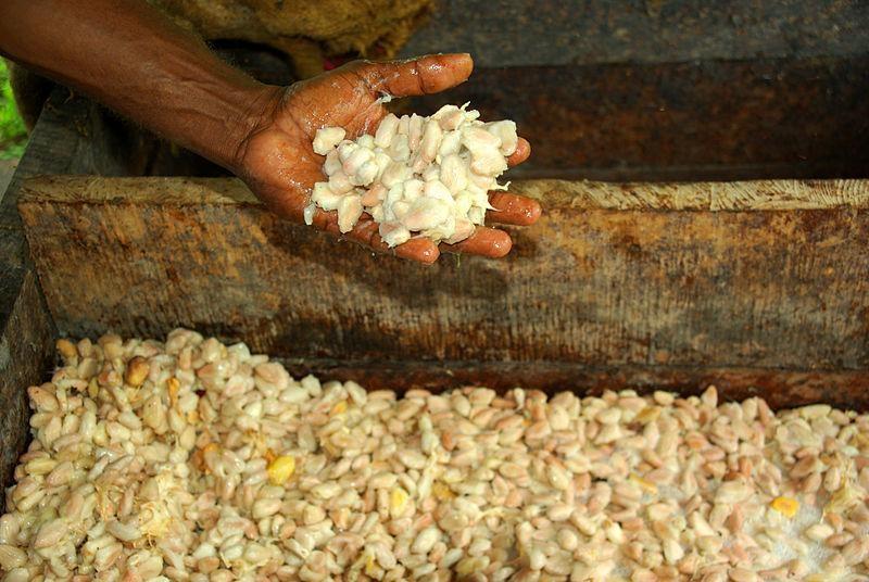Granos de cafe en proceso de fermentacion
