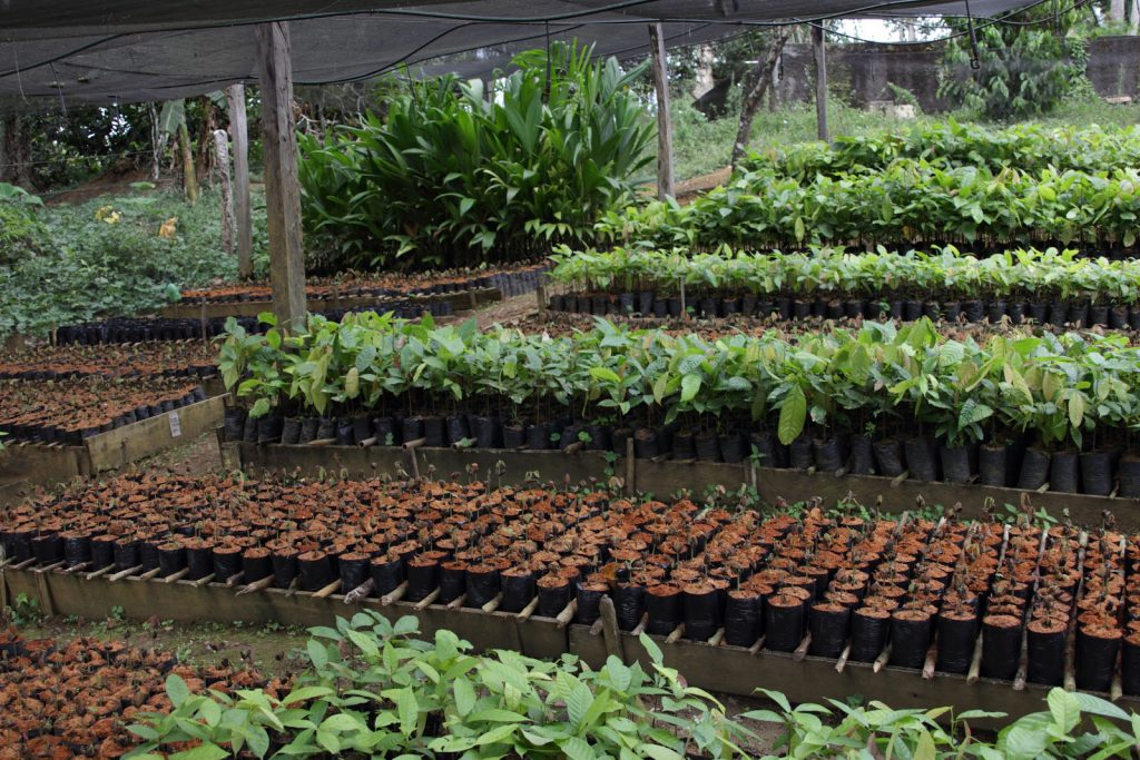 Fine cacao plants growing in Brazil