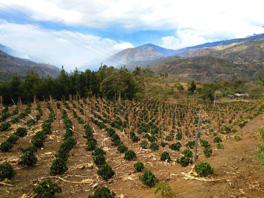 Arbustos da variedade Castillo de um ano de idade na Vereda Jámbalo em Cauca, Colômbia.