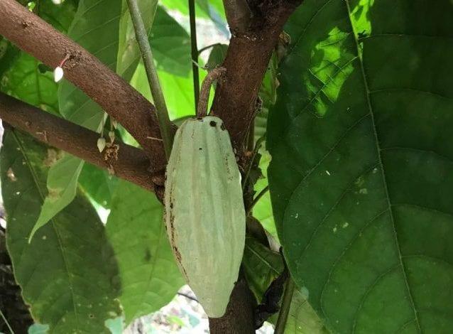 unripe cacao