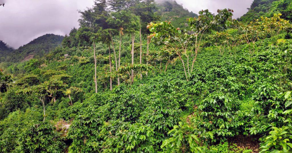 Pés de café na Finca El Paraiso em La Libertad, Huehuetenango, Guatemala.
