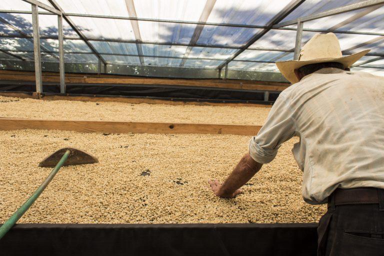 Secagem de café pergaminho em terreiro suspenso
