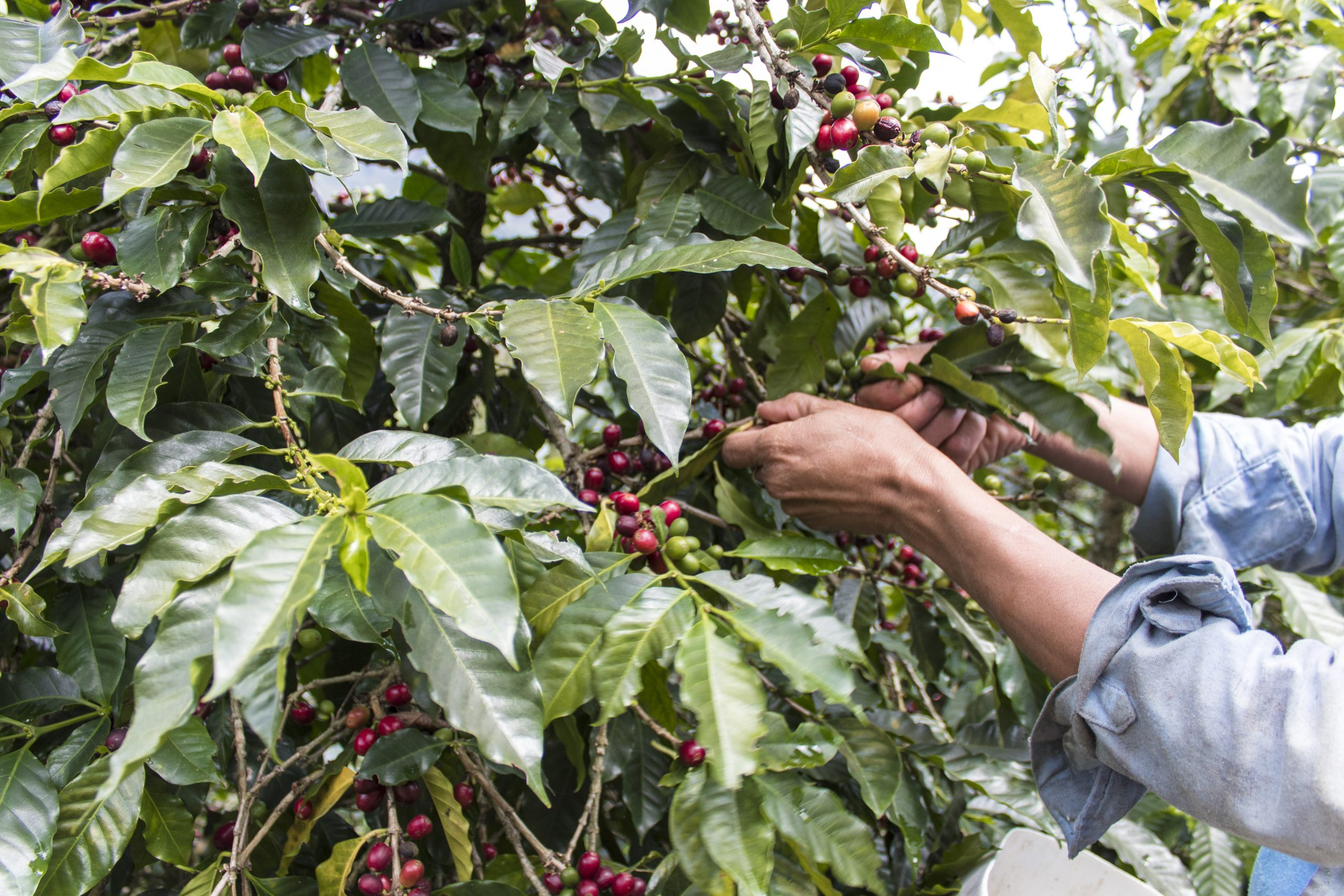 Man harvesting a coffee tree