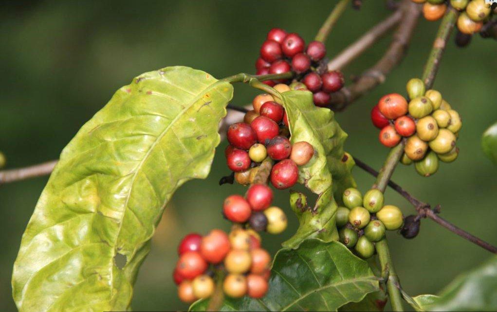 Green coffee growing on trees