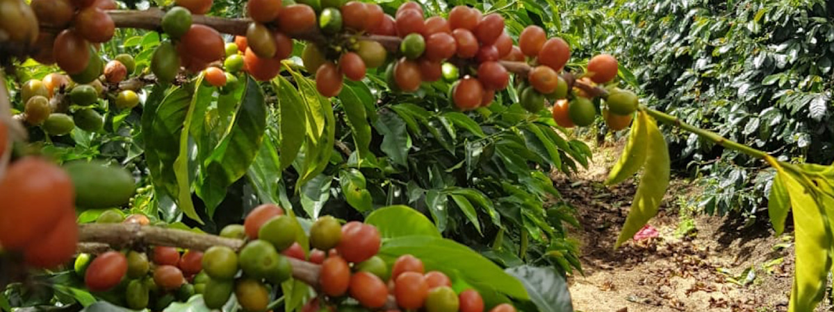 Ripe coffee cherries in a branch