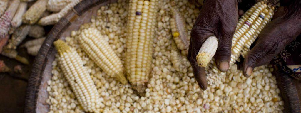Man working with corn cob