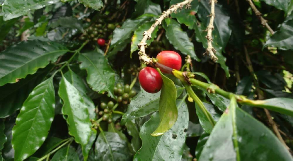 Coffee cherries at Sítio Rancho Dantas, Espirito Santo Mountains.