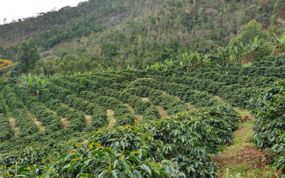 Lines of coffee trees at Sítio Rancho Dantas farm in Espirito Santo Mountains.