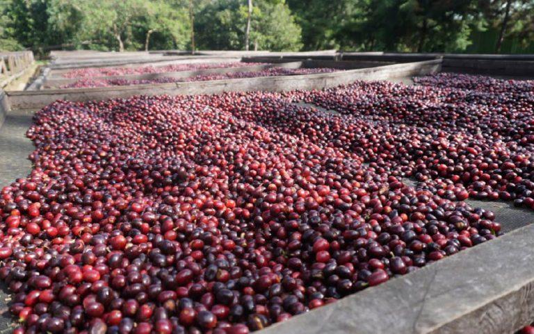 terreiro suspenso para garantir a qualidade do café