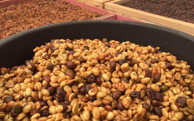 grãos de café fermentando