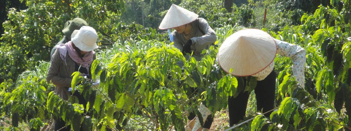 women picking coffee cherries