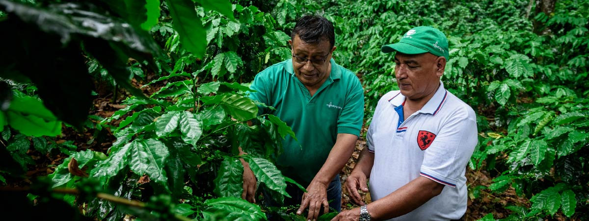 Producers checking coffee trees