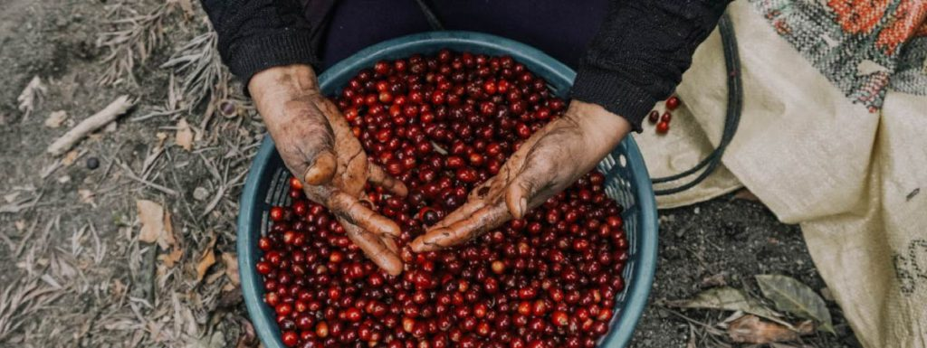 Green basket with ripe coffee cherriesand hands of a woman