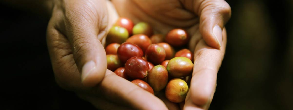 Hands holding ripe coffee cherries