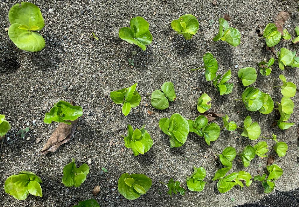 A picture containing ground, outdoor, plant, dirt  Description automatically generated