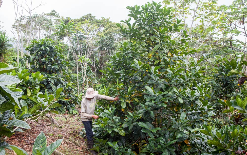 Producer working in his coffee farm, liberica