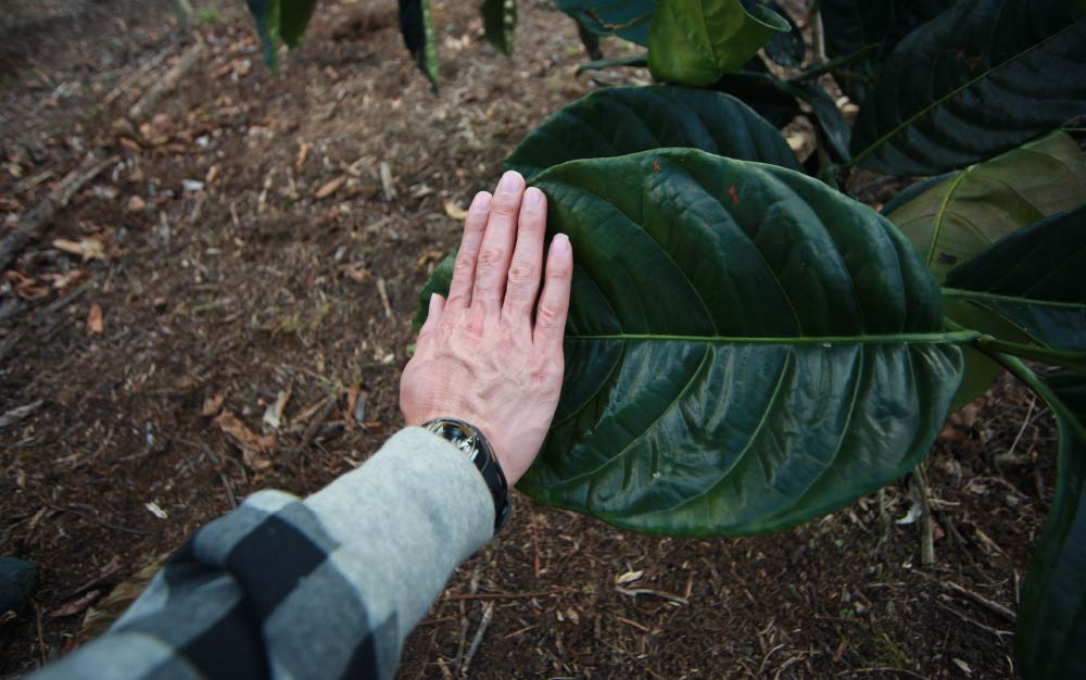 Man comparing his hand with a coffee tree leaf, liberica