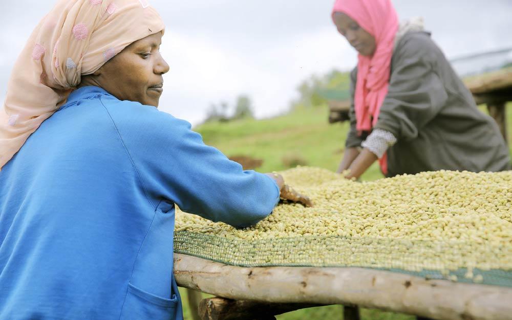 Ethiopian women ranking green coffee beans, ECX