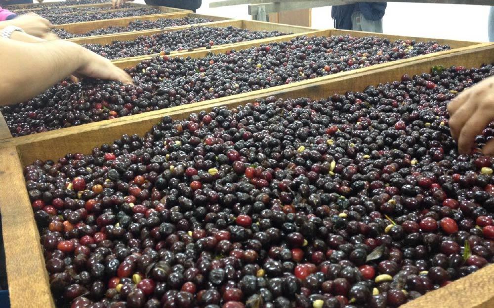fermentación del café