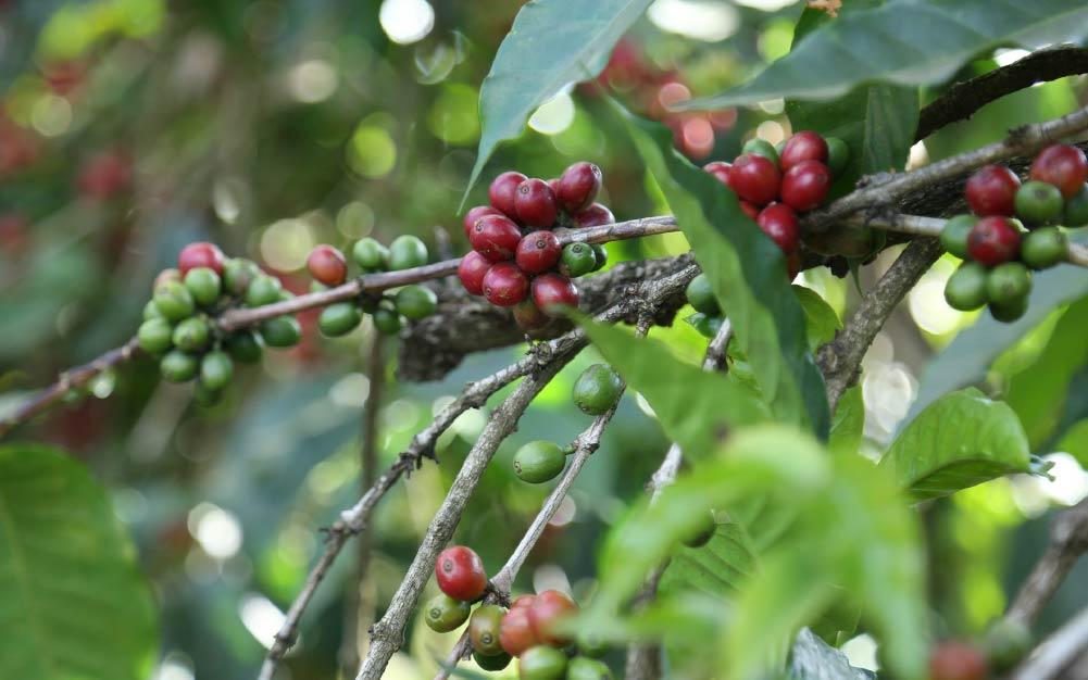 frutos de café