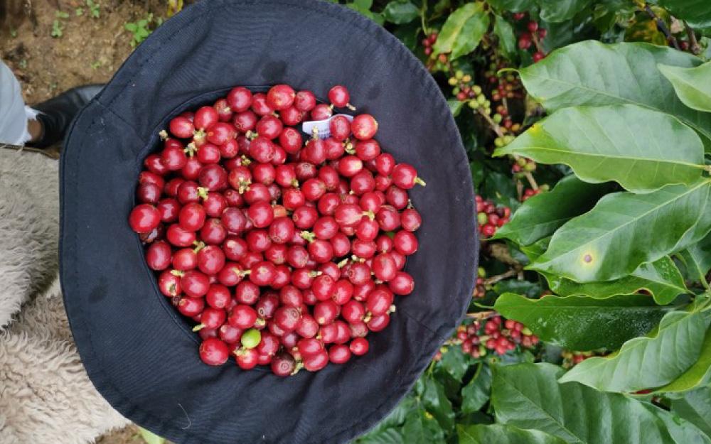 cerejas de café colhidas