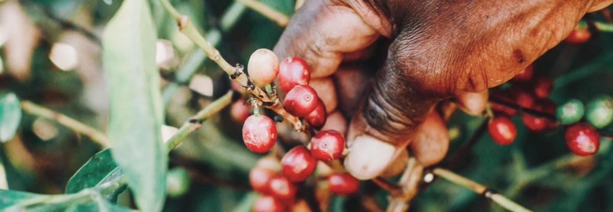 nigerian coffee production