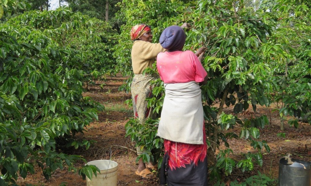 coffee production in nigeria
