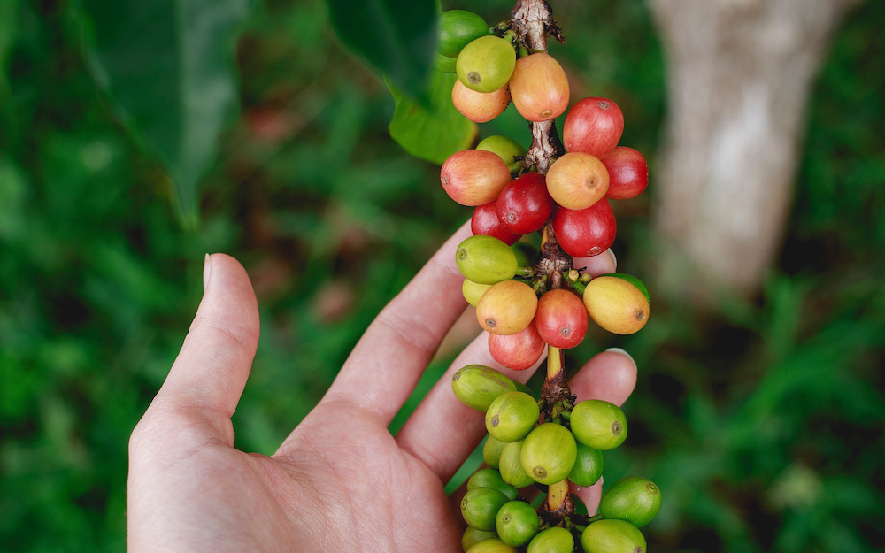 hand with coffee cherries