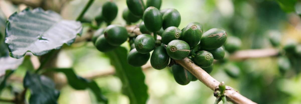 green coffee cherries on branch