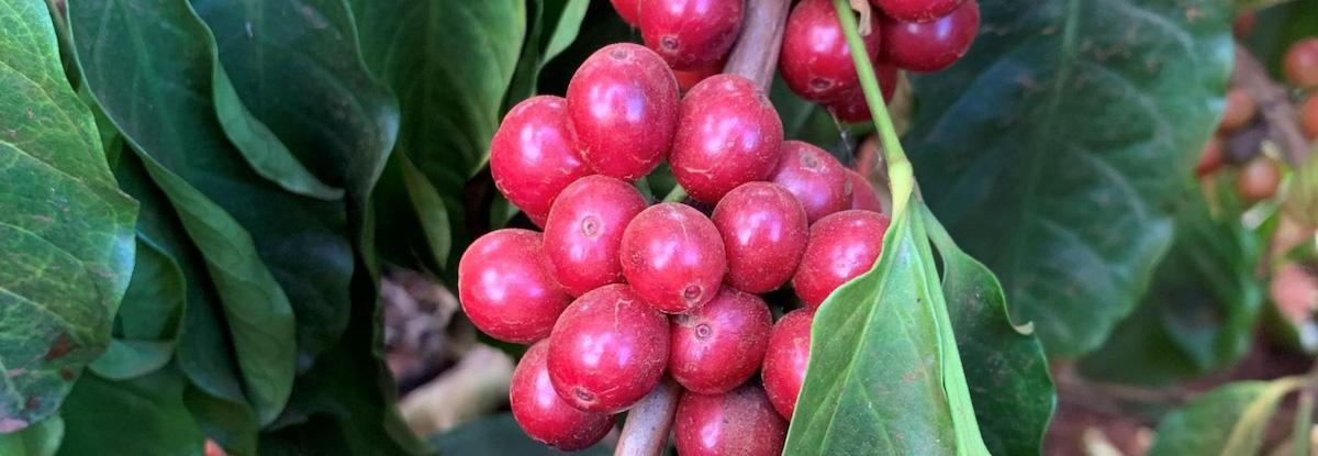 ripe coffee cherries on branch